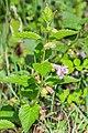 Melittis melissophyllum in Aveyron (1).jpg