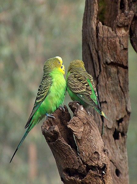 File:Melopsittacus undulatus -Australia-8.jpg