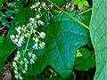 Menispermum canadense - Common Moonseed.jpg