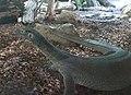 Mertens's water monitor (Varanus mertensi).jpg