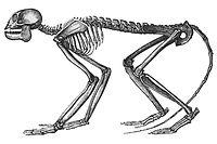 Mesopithecus.jpg
