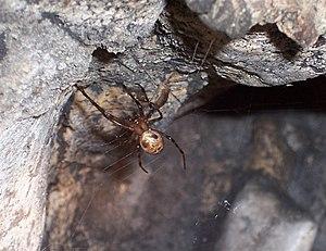 2012 Höhlenradnetzspinne
