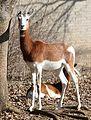 Mhorr Gazelle by Trisha 8.jpg