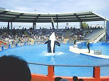 A killer whale rises vertically above the pool surface, except its tail, with a trainer standing on its nose.