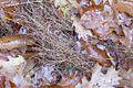 Microstegium vimineum 5501096.jpg