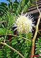 Mimoza. Leucaena leucocephala. 01.jpg