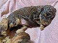 Miniature poodle puppies at three weeks sleeping (sovende, tre uker gamle valper av dvergpuddel) Norway 2021-04-19 IMG 7173.jpg