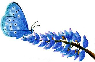 Mission blue butterfly habitat conservation - An artist's rendering of a Mission blue perched upon a lupine