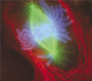 Animal - A newt lung cell stained with fluorescent dyes undergoing the early anaphase stage of mitosis