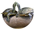 Modified Turtles Costa Rica.jpg