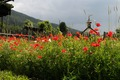 Mohn im Südtiroler Bauerngarten.tif