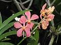 Mokara Chark Kuan -新加坡植物園 Singapore Botanic Gardens- (9157035687).jpg