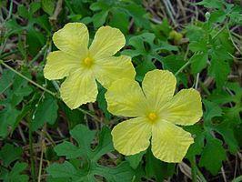 266px-MomordicaCharantia_flowers.jpg