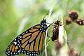 Monarch (Danaus plexippus) (14611446179).jpg