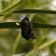 Monarch Butterfly Emerging.JPG