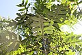 Montanoa hibiscifolia 0zz.jpg