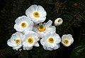 More Mt Cook Lilies ((Ranunculus lyallii) (8400161641).jpg