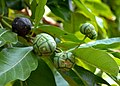 Morinda Coreia Fruit (DSC 9896).JPG