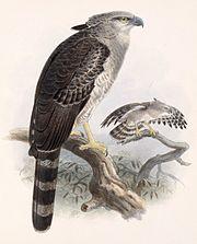 Morphnus guianensis.jpg