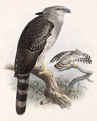 Morphnus guianensis