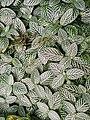 Mosaic plant..jpg