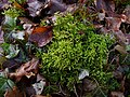 Moss with ivy and fallen beech leaves - geograph.org.uk - 1157976.jpg