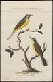 Motacilla flava - 1829 - Print - Iconographia Zoologica - Special Collections University of Amsterdam - UBA01 IZ16300111.tif