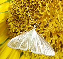 Moth on Sunflower.jpg