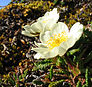 Flower: Mountain avens