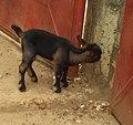 Mouton noire.jpg