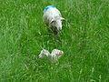 Moutons à Entrepierre-0.JPG