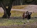 Mufflon Wildgehege Rheinauer Wald März 2012.JPG