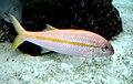 Mulloidichthys martinicus 2.jpg