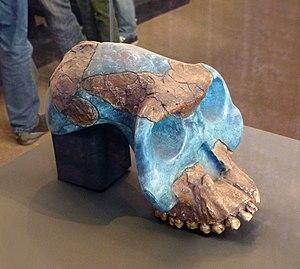 Australopithecus garhi - Image: Musée national d'Ethiopie Australopithecus garhi (2)