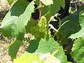 Muscadet flowering.jpg