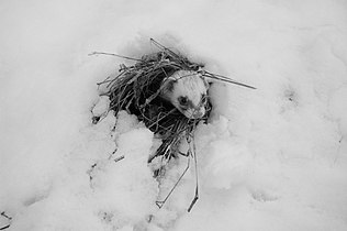 Mustela putorius furo (fretka) na śniegu.JPG