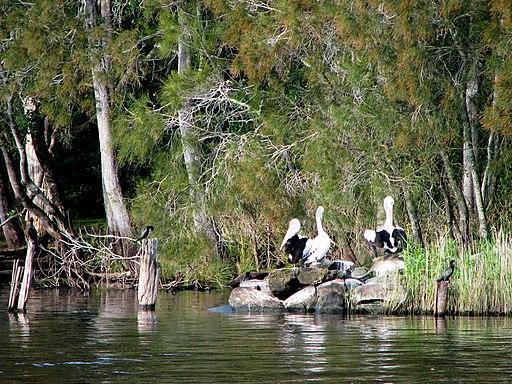 Myall Lakes National Park Birds