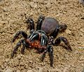 Mygalomorphae Actinopodidae Missulena bradleyi Eastern Mouse Spider The Gap Brisbane 007.jpg