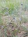 Myosotis ramosissima sl3.jpg