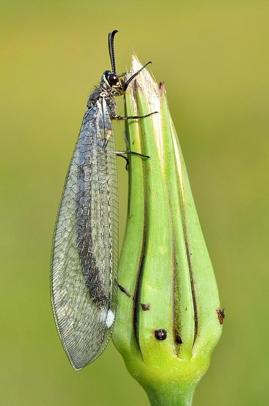 муравьиный лев фото и описание
