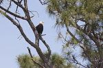 NASA Kennedy Wildlife - Bald Eagle (6).jpg