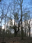 ND0906-11 Hohenbocka Quercus Robur.jpg
