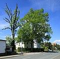 ND Winterlinde (Lutherlinde) in Chemnitz-Klaffenbach...2H1A3232WI.jpg