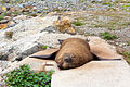 NZ070315 Oamaru Seal 01.jpg
