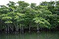 Nakama River Iriomote Okinawa Japan05s3.jpg