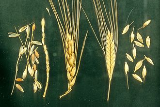 Wheat - Left: Naked wheat, Bread wheat Triticum aestivum; Right: Hulled wheat, Einkorn, Triticum monococcum. Note how the einkorn ear breaks down into intact spikelets.