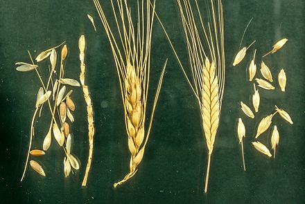 Left: Naked wheat, Bread wheat Triticum aestivum; Right: Hulled wheat, Einkorn, Triticum monococcum. Note how the einkorn ear breaks down into intact spikelets. Naked and hulled wheat.jpg