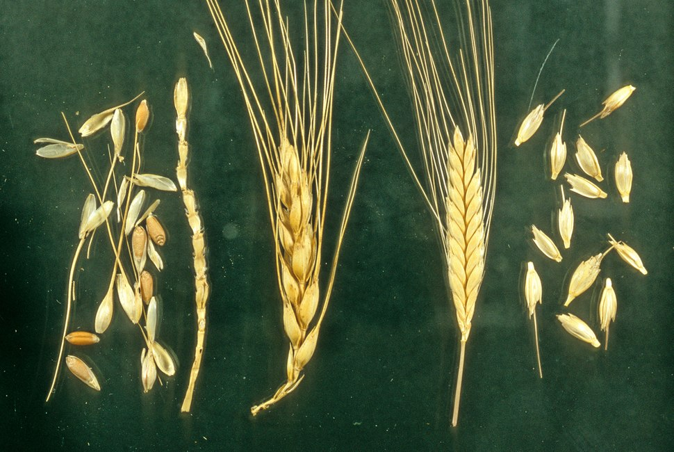 Naked and hulled wheat