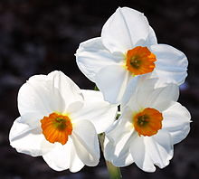 Geranium Narcissus is coded as 8WO because it is classified in Division 8, has a W for White perianth and an O for Orange corona