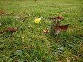 Narcissus bulbocodium citrinus 02.jpg